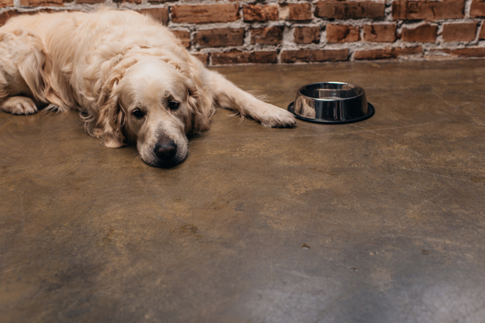 Adorable golden retriever lying near bowl and brick wall at home