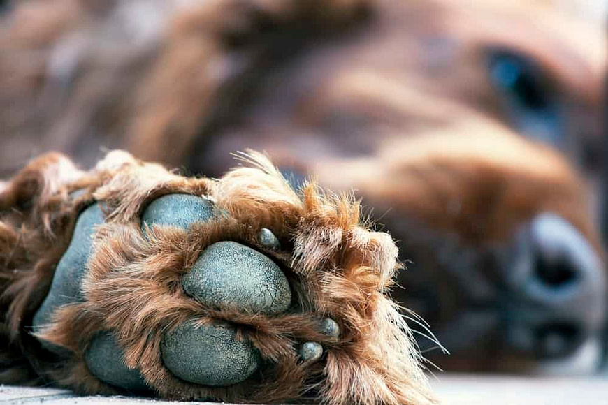 Cute dog paw