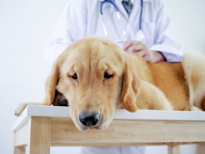 Close up Golden Retriever face laying on bed in pet hospital with an upset stomach