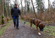 Man walking dogs in the neighborhood. Taken in Fraser Heights, Greater Vancouver, British Columbia, Canada.