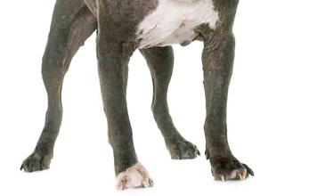 old pitbull in studio